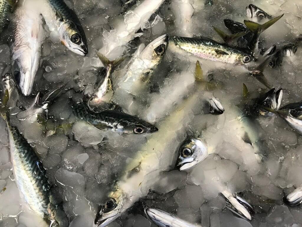 衛生管理施設充実の石巻魚市場に水揚げされた金華さば